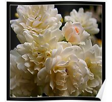 white roses and a light pink bud (square) Poster