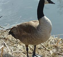 Canada Goose on a Lakeshore by rhamm