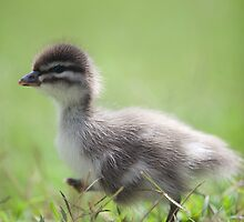 march of the duckling By Ken Killeen by KenKilleen
