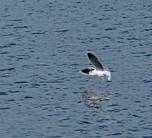 Little Gull Underwing by Sue Robinson