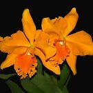 Cattleya Orchids by vette