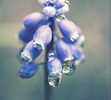 Grape Hyacinth by Amanda Roberts