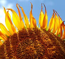 Sunflower by Amelise