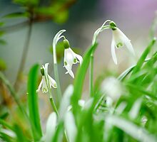 Snowdrops by BonniePhantasm