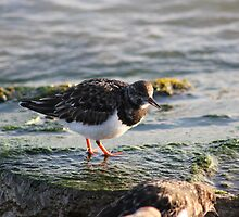 Ruddy Turnstone by Vicki Spindler (VHS Photography)