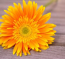 Rustic Orange Gerber Daisy by daphsam