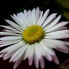 Daisy by Ana Belaj
