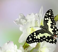 Papilio demoleus by jimmy hoffman