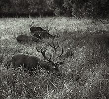 Deer grazing by martinbenito