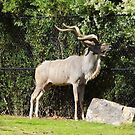 Greater Kudu by WildestArt