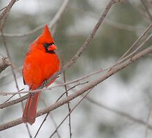 Bright Red Male Cardinal by LisaThomasPhoto