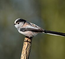 Lomg tailed tit - V (Aegithalos caudatus) by Peter Wiggerman