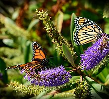 Monarchs on Hebe Flowers by Belinda Osgood