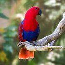 Female Electus Parrot by Sandra Chung