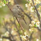 Female House Finch In Plum Tree by Diana Graves Photography