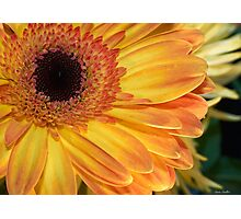 Gerbera Photographic Print