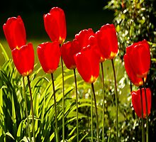 tulip impressions (square) by dedmanshootn
