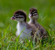 ducklings By Ken Killeen by KenKilleen