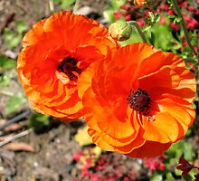 TWIN POPPIES IN BED OF GROUND COVER by JAYMILO