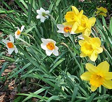 Mixed Daffodils by Nadya Johnson