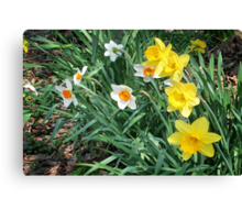 Mixed Daffodils Canvas Print