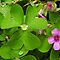 Shamrocks/ Wood Sorrel (oxalis)