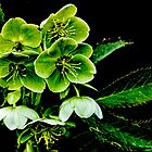 Green Hellebore 2 by lynn carter