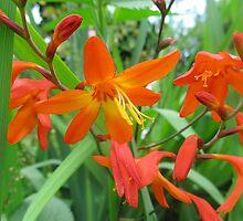 orange montbretia by Michaela Stephens