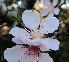 peach blossom by Michaela Stephens