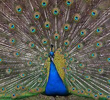 Male peacock presenting his colorful feathers by JBlaminsky