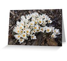 Springtime Abundance - a Bouquet of Pure White Crocuses Greeting Card