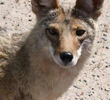 Coyote looking at you by stine1