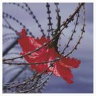 Hibiscus flower in razor wire by Harvey Schiller