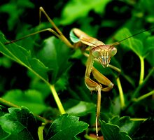 Praying Mantis - April by Alexander589