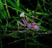 Stagmomantis limbata - March by Alexander589