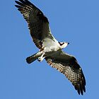 Osprey by Mike Fischetti