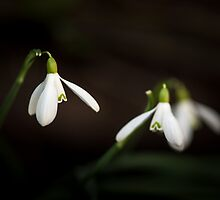 Snowdrop by Tom Klausz