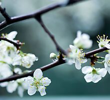 Plum Blossoms by Amanda Roberts