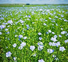 Blooming flax field by Elena Elisseeva