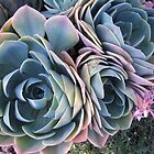 Echeveria glauca by Maree  Clarkson