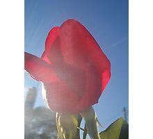 Blue sky, sunshine and rose bud Photographic Print