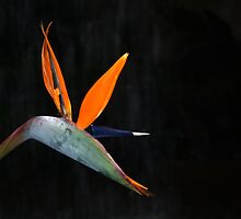 Strelitzia Reginae by Chris Day