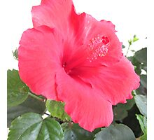 Hibiscus in the Morning  Photographic Print