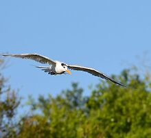 Income Tern by bman48