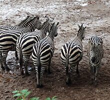 Odd zebra out  by Lucy251296