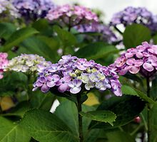 Beautiful hydrangea by OrsiniM