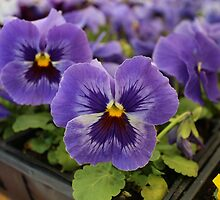 Blue Pansies by Gilda Axelrod