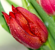 Red Tulip 2032 by KAREN COLEBECK