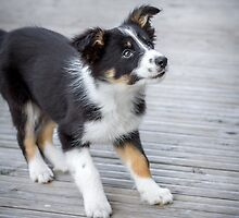 Border Collie Puppy - Poised by Paul Bird