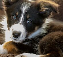 Border Collie Puppy - Blanket by Paul Bird